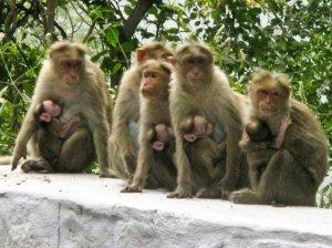 1956588-roadside-monkeys-0